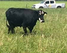Vendo Vacas Con Cria