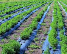 Venta de Plantines de Stevia/semillas