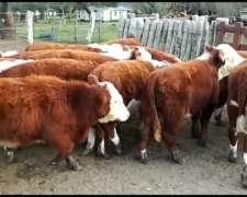 Vendo 70 Tnos Machos Hereford De 1era Calidad, 195 Kgs
