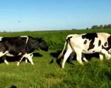 Vendo Vaquillonas de Tambo
