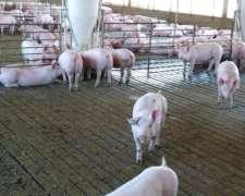 Slats - Pisos para Cerdos de Hormigon Premoldeado