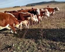 Compro Vacas Hereford Preñadas