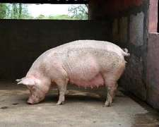 Reproductores Porcinos De Cabaña. Puros, Híbridos