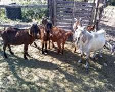 Venta de Cabras y UN Chivo