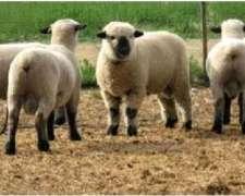 Vendo Carneros Puros Por Cruza Hampshire Down