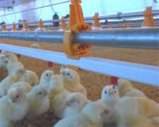 Bebedero Automático Tetina-nipple. Línea Para Pollos-aves.