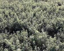 Rollos de Alfalfa Grandes