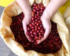 Semillas De Café Certificadas