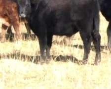 30 Terneros Capados/ 190kg/lincoln