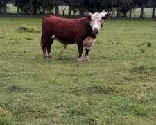 Vendo Toro 3 Años