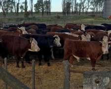 En Villalonga (bs. As.): 200 Novillos UE