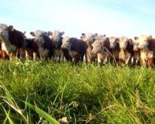 Vendo Novillos Y Vacas Gordas