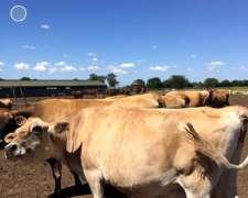 Vacas Jersey Usadas Y Terneras Recrris