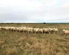 Corderos y Borregos Pampinta y Border Leicester