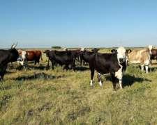 40 Vacas Gordas 440-450 Kg