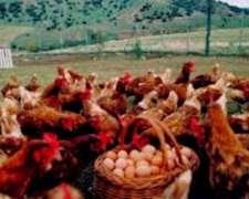 Cortinas y Picos de Riego para Cerdos-ponedoras- Pollos