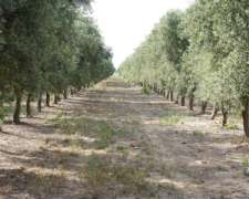 Planta de Aceite de Oliva + Campo de Olivos