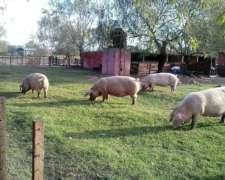 Criaderos Porcinos. La Carne Del Momento