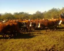 Vendo Un Jaula De Vacas Usadas Cruza Braford Preñadas