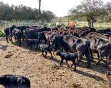 Vacas Preñadas CUT HER