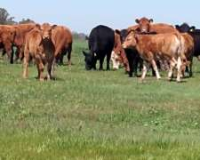 Terneras Limflex ( Cruza Limousin) para Madres