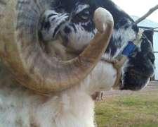 Reproductores Ovinos De Cabaña Nueva Sangre