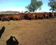 Se Comprá Vacas de Feedlots