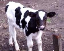 Pruductor A Productor - Compro Terneros Holando - Angus