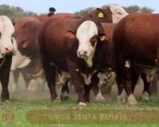 80 Toros Braford Pedigree
