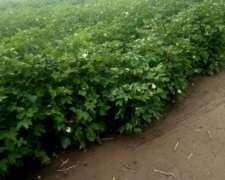 Vendo Campo Agricola 574 C/430 en Directa Hace 20 Años.