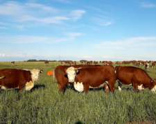 Vaquillonas Preñadas Polled Hereford Clasif. Aach