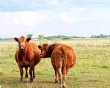 Compro Vacas De Primera Paricion Con Cria Al Pie Pago Contad