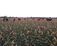 Busco Vacas De Invernada.productor Directo.brangus O Braford