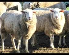 Pampinta Borregas 25 - 30. 5 Parideras Cerdo