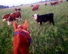 Vacas, Vaquillonas, Terneras. Vendo Hacienda en Gral.