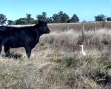 Compro Vacas Preñadas O Con Ternero Al Pie
