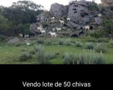 En Venta 50 Chivas Preñadas