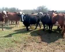315 Vacas Preñadas (V. Minetti- S. FE)