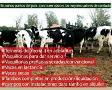 Vacas Holando en Producción