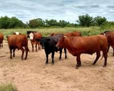 Compro Directo Novillo Gordos Y Vacas Gordas
