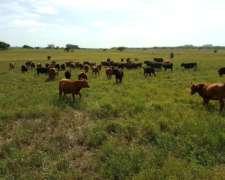 405 Vacas Nuevas Especiales Angus para Servicio
