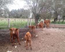 Cambio Vacas Cut Por Maiz-sorgo O Rollos De Moha/alfa
