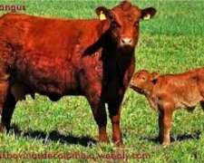Busco Campo para 50 Vacas