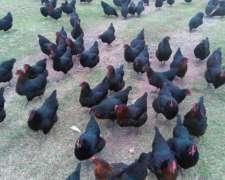 700 Gallinas Ponedoras Negras