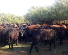 400 Vaquillonas Angus Negras Definidas Para Entorar
