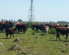 Compro Vacas Con Ternero Al Pie
