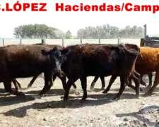 Vacas Paridas Angus y Caretas