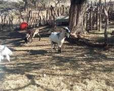 Vendo Cabras 50% Nubian Casi Todas Preñadas, 1200 Cada Una