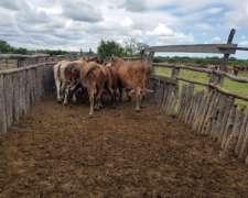 20 Vacas Listas para Faena