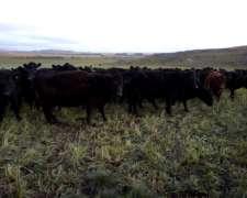 Vacas Negras Preñadas Puras Controladas
